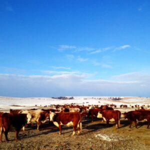"""""""Springing"""" into calving season."""