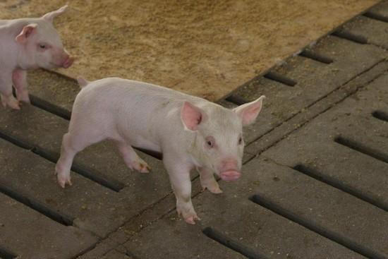 shana pigs