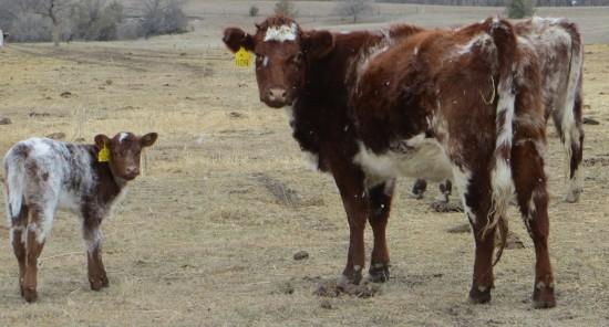 Shorthorn cow/calf pair