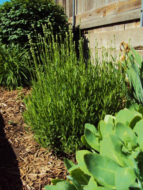 herbs lavender