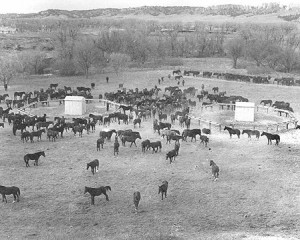 By 1943 the herd of horses at Fort Robinson approached 12,000.  (photo: NebraskaHistory.org)