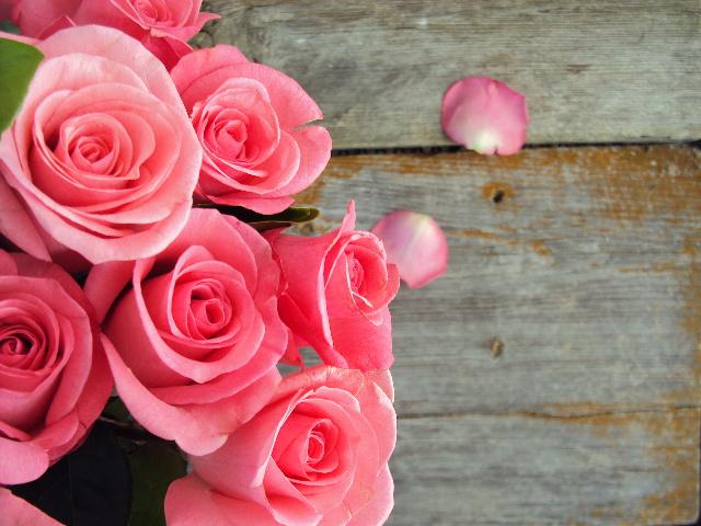 pink roses close up