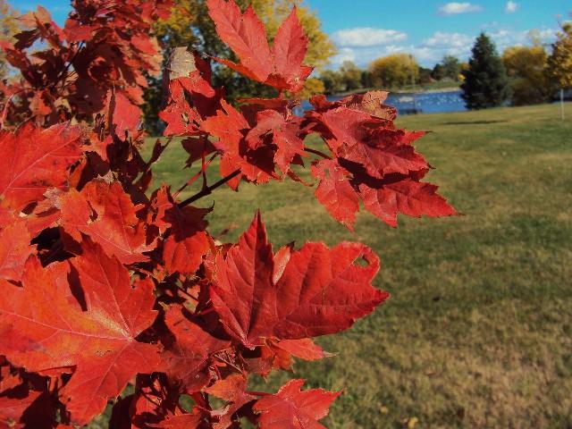 leaf red leaves