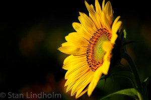 sunflower showing Fibonacci by Stan