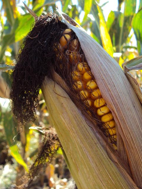 County Seat Living corn cob2