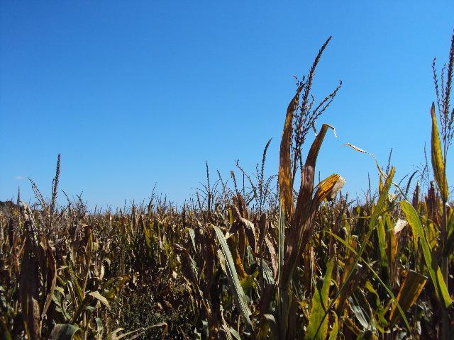County Seat Living cornfield2