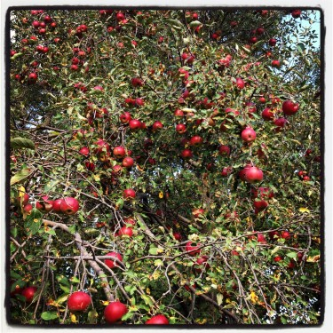 Loaded Jonathan Apple Tree