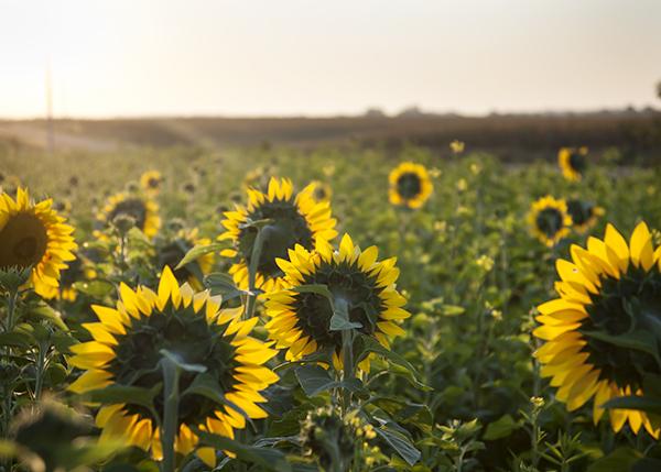 sunflower_back