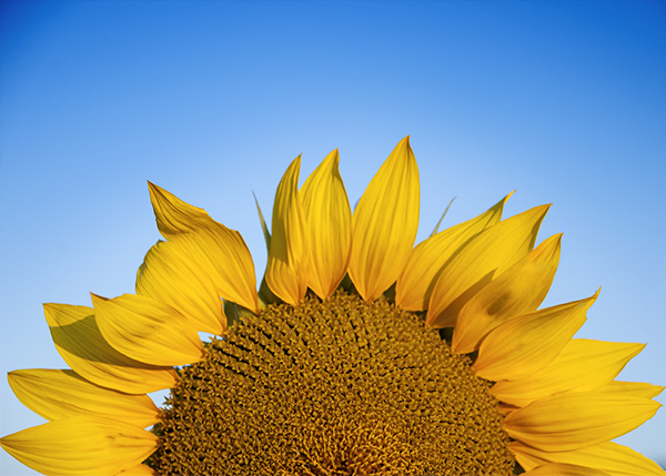 sunflower_closeup