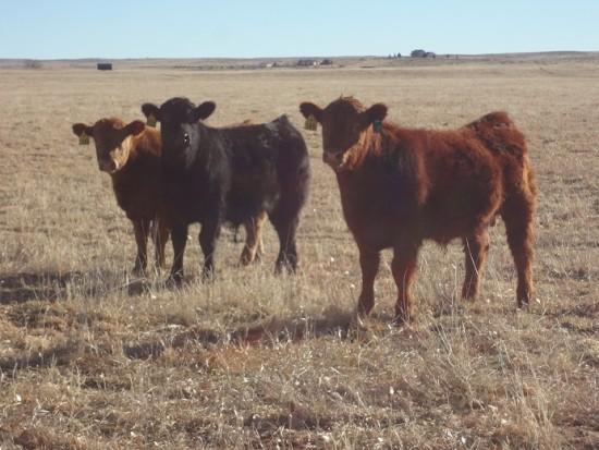 ranch bulls (2)