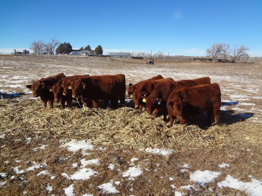 feeding bulls (2)
