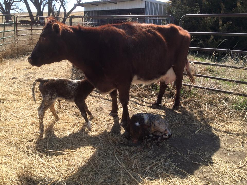 Coffee, Calving, and Jesus   www.herviewfromhome.com