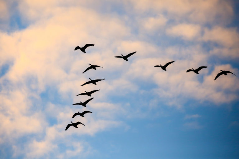 When My Spirit Was Weary, God Sent Me Geese www.herviewfromhome.com