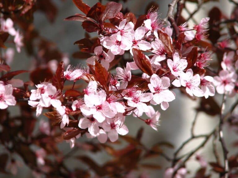 Flowering ornamental plum tree