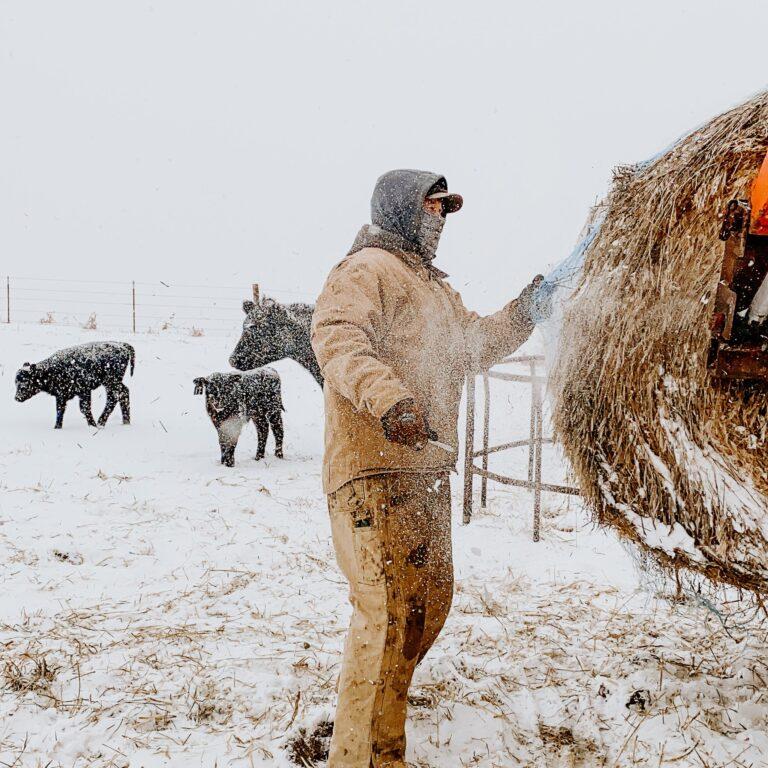 Farmer feeding cattle in winter storm